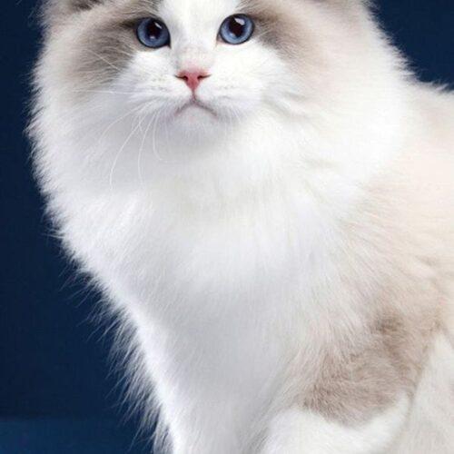 Mitted Ragdoll Cat Pattern