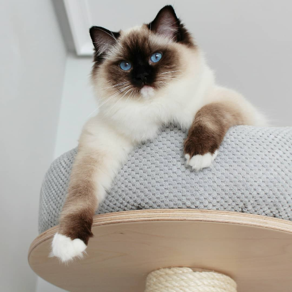 Mitted Seal Point Ragdoll Cats