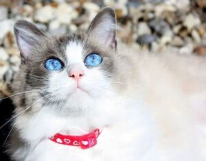 The Guide to Ragdoll Cat Colors & Patterns